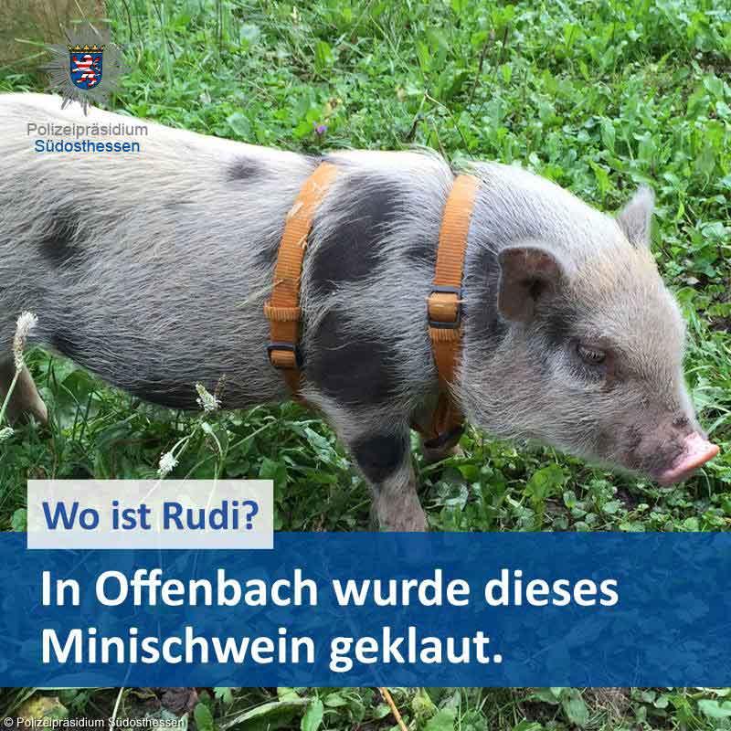minischwein-rudi-polizei-fahndung
